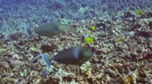 Pr Unicorn Surgeonfish Swim Close By Camera