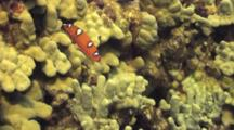 Juvenile Yellow Tail Wrasse Flits Around In Coral