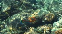 Male Christmas Wrasse With Other Fish, Shallow Water