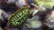 Tiger Flatworm Moves Across Coral