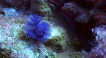 Christmas Tree Worm Coming Out To Feed