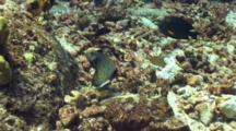 Rockmover Wrasse Throws Around Chunks Coral