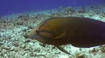 Yellowtail Wrasse Hunts In Coral Rubble