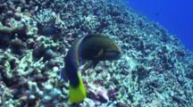 Yellowtail Wrasse Hunts In Coral Rubble, Approaches Camera