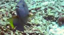 Yellowtail Wrasse Hunts In Coral Rubble, Poses Mouth Open