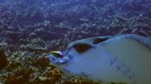 Eagle Ray Close To Camera W/Hawaiian Cleaner Wrasse On Nose