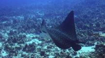 Eagle Ray Swims Thru Cleaning Station, Hawaiian Cleaner Wrasses Working