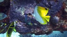 Variety Reef Fish Eating Sergeant Major Damsel Eggs