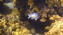 Single Damselfish Drives Away Saddle Wrasses From Eggs