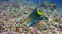 Very Colorful Yellowtail Wrasse Searches Food In Coral Rubble