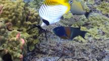 Threadfin Butterfly And Saddle Wrasses Feed On Sea Urchin