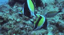 Pr Moorish Idols Feeding In Coral--Male Spotted Boxfish Hunting