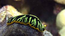 Tiger Flatworm Moes Across Coral
