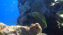 Lg Yellow Margin Moray Cleaned By Hawaiian Cleaner Wrasse