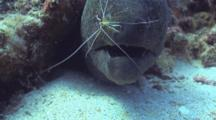 Yellow Margin Eel, Cleaner Shrimp In Mouth, Coughs It Out