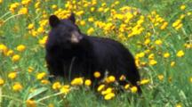 Bear On Roadside Eating Dandelions
