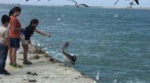 Sea Gulls Hover Near Brown Pelican Being Fed By Kids