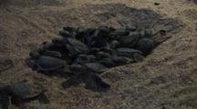 Olive Ridley Hatchlings Erupt From Nest On Beach, Puerto Angel