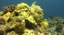 2 Commerson's Frogfish Sit On Either Side Of Lobe Coral, Camouflaged