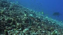 Blue Trevally Circles Close To Reef And White Mouth Moray