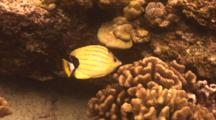 Blue Stripe Butterfly Nibbles On Cauliflower Coral