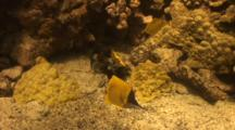 3 Long Nose Butterfles Feed On Dead Sea Urchin