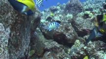 Ser. Major Chases Reef Fish Eating Eggs