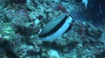 Bandit Angelfish Feeding Among Other Reef Fish