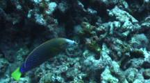 Yellowtail Wrasse W/Urchin In Mouth, Trying To Break Spines On Rocks