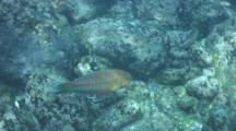 Christmas Wrasse Swims Over Lava Rocks In Shallow Water