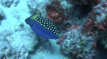 Male Spotted Box Fish Hunts On Sand And Rubble Bottom