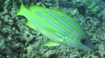 Single Blue-Striped Snapper Cruises The Reef