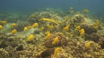 Dense School Yellow Tangs, Recovering From Over-Collecting,Trumpetfish
