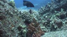 Pr Octopus Moving-One Encounters Two Peacock Groupers