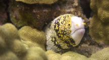 Head Of Snowflake Moray Eel As It Pokes Out Of Coral