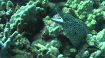 White Mouth Moray Eel Reacts To Nip From Hawaiian Cleaning Wrass