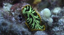 Tiger Flatworm Glides Past Christmas Tree Worm Home