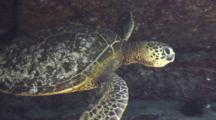 Juv Green Sea Turtle Leaves Lava Shelf Shelter For Open Area