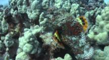 Devil Scorpionfish Shows Colorful Underside Of Pectoral Fins As It Moves