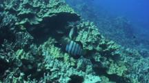 Two Peacock Groupers Find Place To Hide In Coral