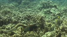 Peacock Grouper And White Mouth Moray Swim/Hunt Together