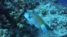 Male Bullethead Parrotfish Feeding On Coral