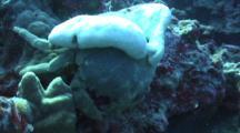 Sponge Crab Finds, Enters Hiding Place