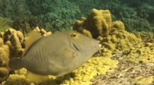 Barred Filefish Hangs Out Around Top Lava Boulder