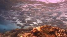 Camera Follows Hawaiian Flagtails In Turbulent Water Overhead