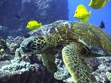 Green Sea Turtle Cleaned By Surgeonfish