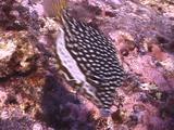 Whitley's Boxfish, Female