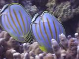 Clown Or Ornate Butterfly, Chaetodon Ornatisimus