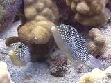 Pair Hawaiian White-Spotted Tobies