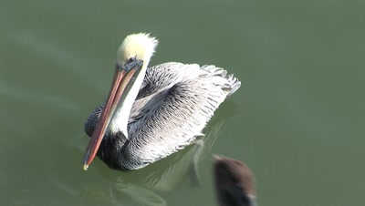 Brown Pelican (Pelecanus Occidentalis),C/U, Swimming  Calmly On Flat Water